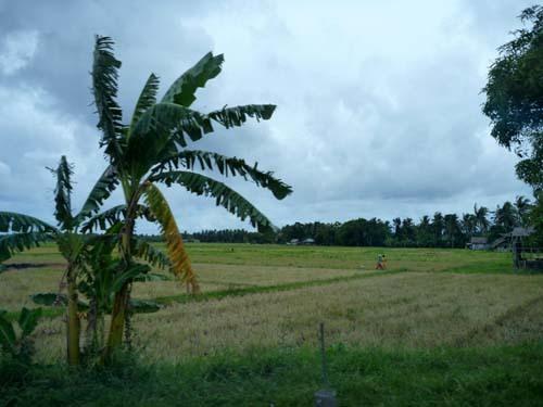 panay rice field.jpg