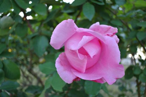 rose park  10.jpg