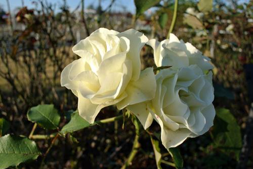 rose park  5.jpg