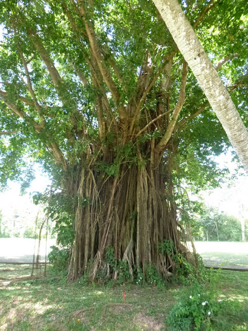 apo 16 big tree.jpg
