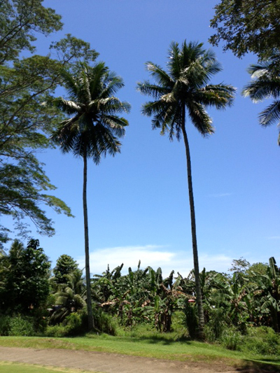 apo 4 coconuts.jpg