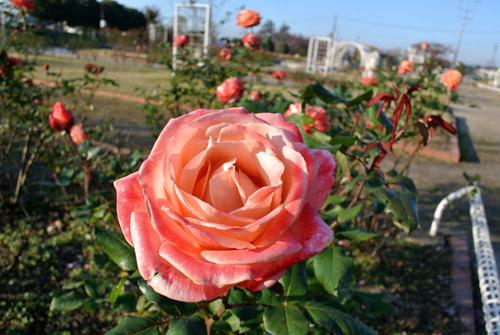 rose park  4.jpg